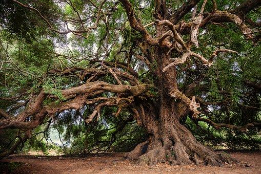 oliven træ i naturen
